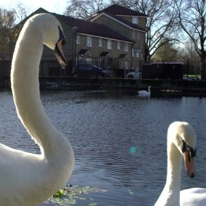 A shot of a couple of Swans
